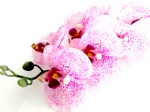 35 orchid stem fuchsia white - soft touch
